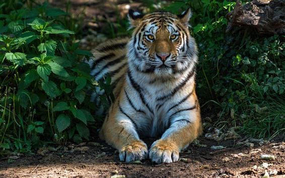 Papéis de Parede Vista frontal do tigre, rosto, patas, animais selvagens