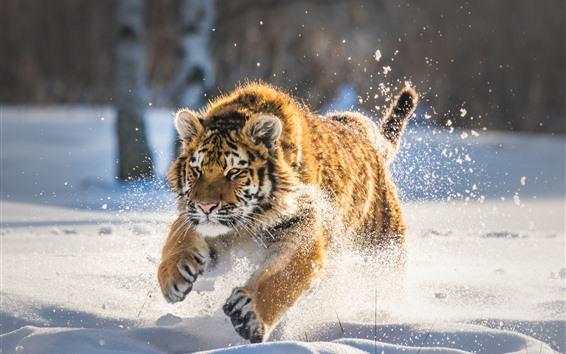Papéis de Parede Tigre correndo na neve, inverno