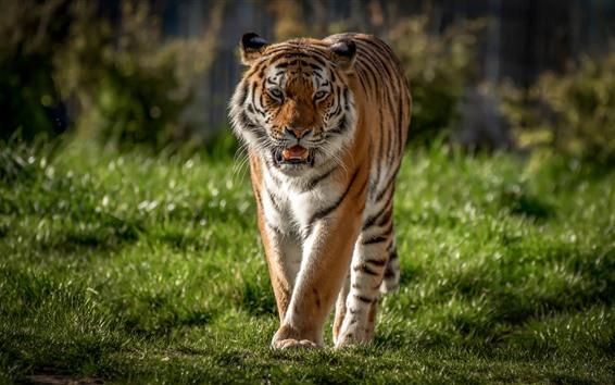 Wallpaper Tiger walk to you, grass, wildlife