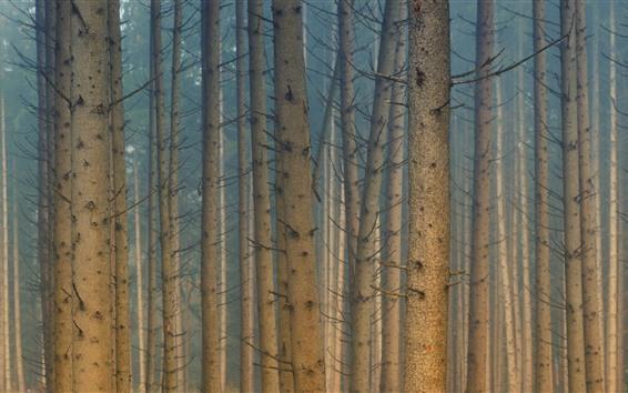 Papéis de Parede Árvores, floresta, amanhecer, nevoeiro