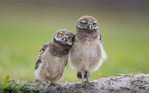 Papéis de Parede Duas corujas, pássaros
