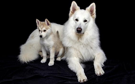 Hintergrundbilder Zwei weiße Hunde, schwarzer Hintergrund