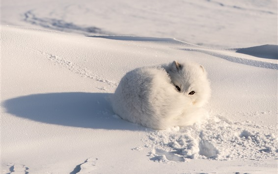 Wallpaper White fox, snow, shadow