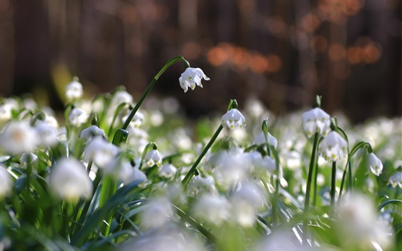 Papéis de Parede Snowdrops brancos, flores close-up, primavera
