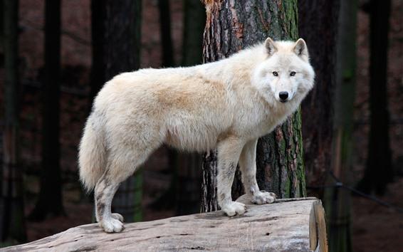 Обои Белый волк, пень, живая природа
