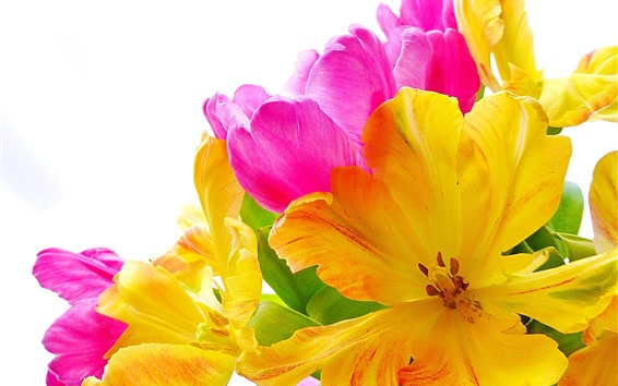 壁紙 黄色とピンクのチューリップ、花、白背景