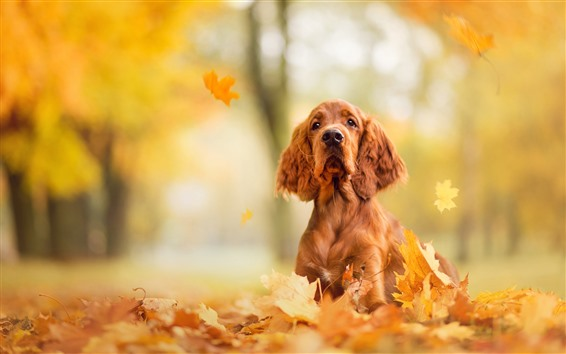 Wallpaper A brown dog, look, maple leaves, autumn