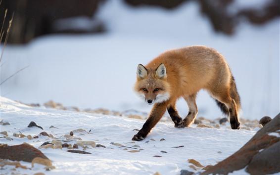 Hintergrundbilder Ein Fuchs geht zu dir, schau, Schnee, Winter