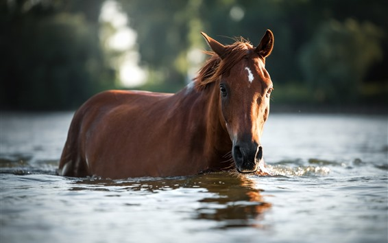 Wallpaper Brown horse in water, depth