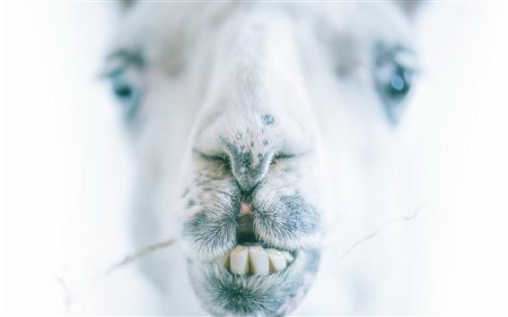 Papéis de Parede Camelo, boca, dentes