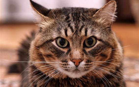 Fondos de pantalla Gato, mirada, cara, ojos, nariz, orejas