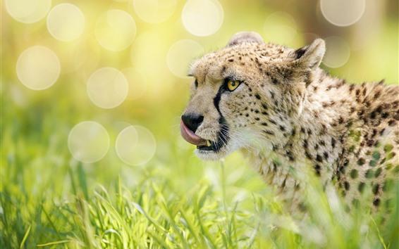 Papéis de Parede Chita, animais selvagens, grama, nebuloso