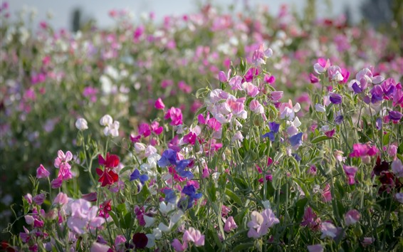 Обои Разноцветные цветы, горох, весна
