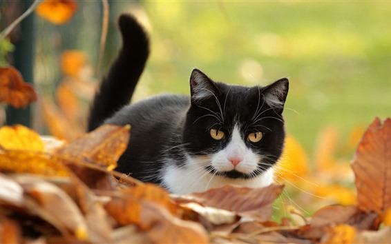 Wallpaper Cute kitten, black and white, yellow foliage, autumn