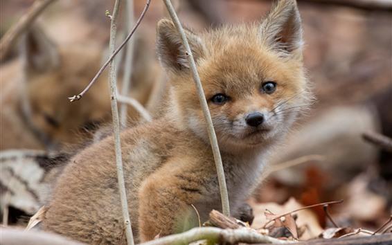 Обои Милая маленькая лиса, пушистая, смотри