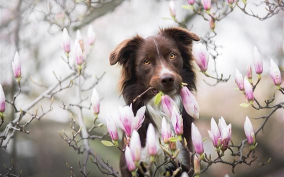 壁紙 犬とマグノリア、ピンクの花