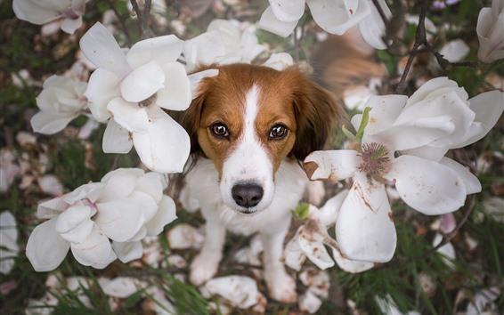 Wallpaper Dog, white flowers, petals