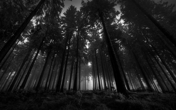 Papéis de Parede Floresta, árvores, nevoeiro, crepúsculo