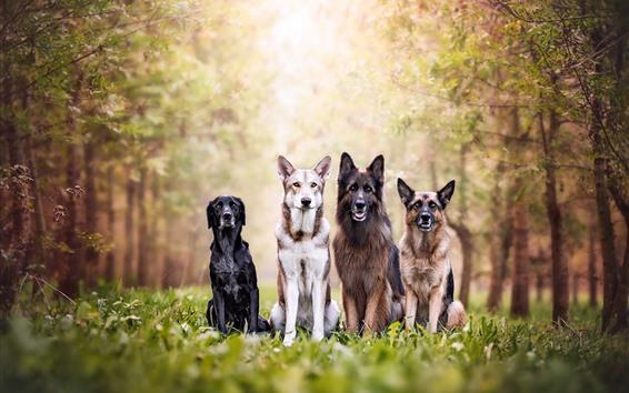 Papéis de Parede Quatro, cachorros, floresta, capim