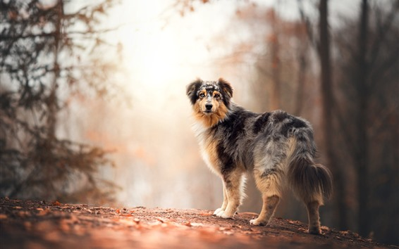 Wallpaper Furry dog look back, autumn, trees, path