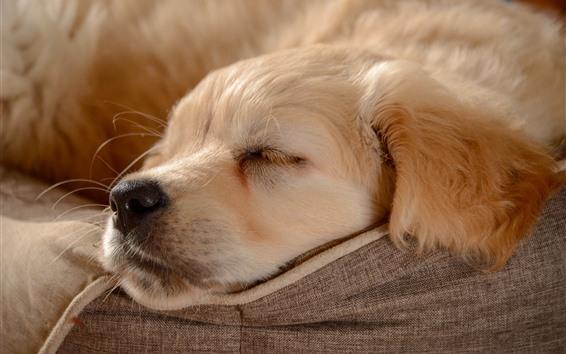 Papéis de Parede Golden Retriever, dormindo