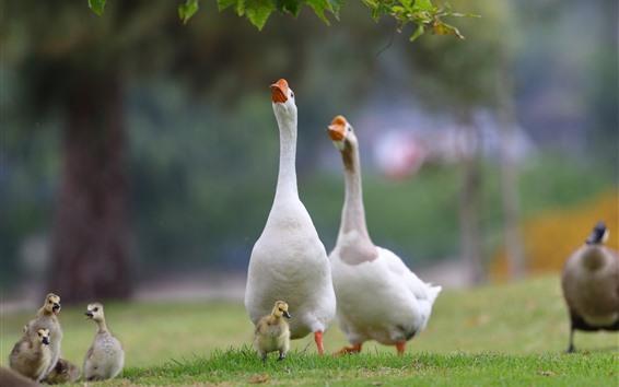 Wallpaper Goose, family