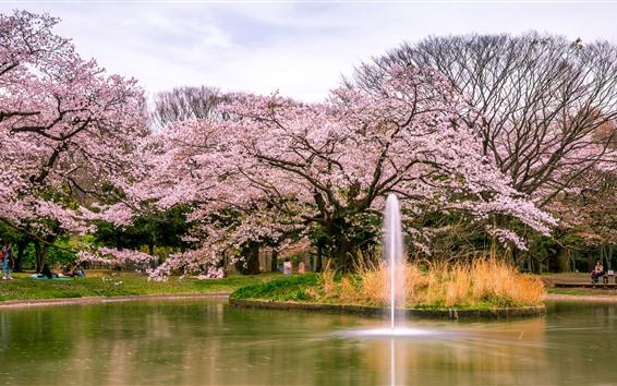 Papéis de Parede Japão, sakura, flores desabrocha, parque, lagoa