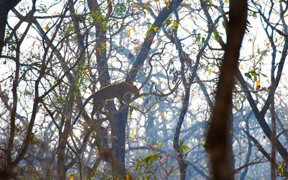 Papéis de Parede Leopardo, suba na árvore, animais selvagens