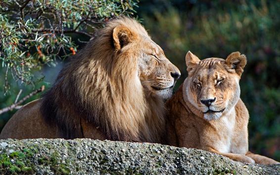 Papéis de Parede Leão e Leoa, descanso, casal