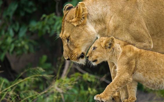 壁紙 雌ライオンとライオンカブ、見て、家族