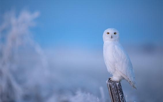Fond d'écran Hibou blanc solitaire, hiver