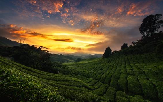 Wallpaper Malaysia, plantation, tea, hills, green, sunset, clouds