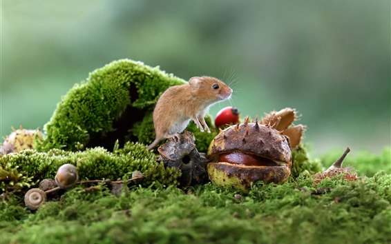 Papéis de Parede Rato, castanha, musgo