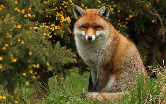 Обои Одна лиса садится, смотрит, дикая природа