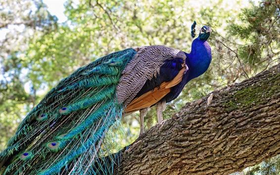 Papéis de Parede Pavão, árvore, pássaro