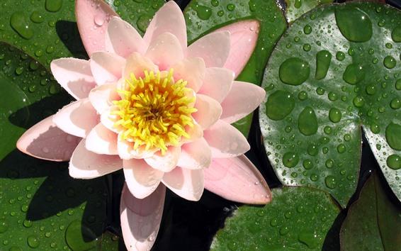 배경 화면 핑크 수련, 물방울, 잎, 연못