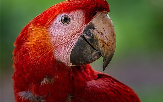 Wallpaper Red feather macaw, head, eyes