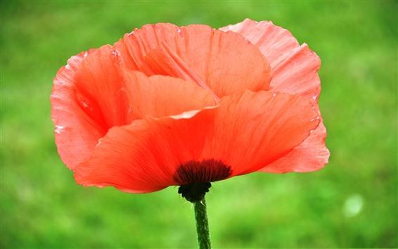 Papéis de Parede Papoila vermelha, flor, gotas de água