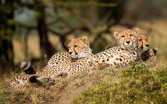 Hintergrundbilder Einige Leopardenjunge rasten, wild lebende Tiere