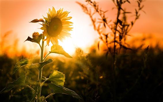 Wallpaper Sunflowers, sunset, glare, summer