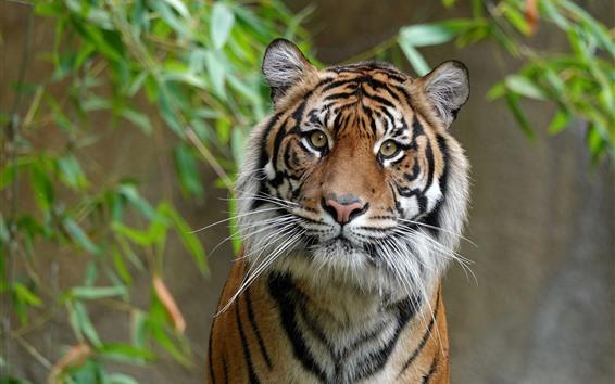 Обои Тигр смотрит на тебя, лицо, глаза, бамбук