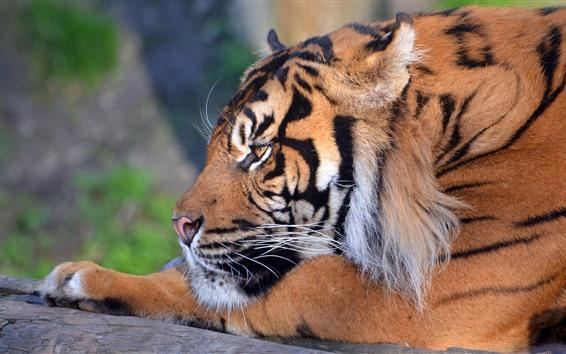 Papéis de Parede Tigre descansar, cabeça, olhar, nariz