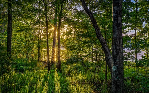 Wallpaper Trees, river, sun rays, shine, forest, green