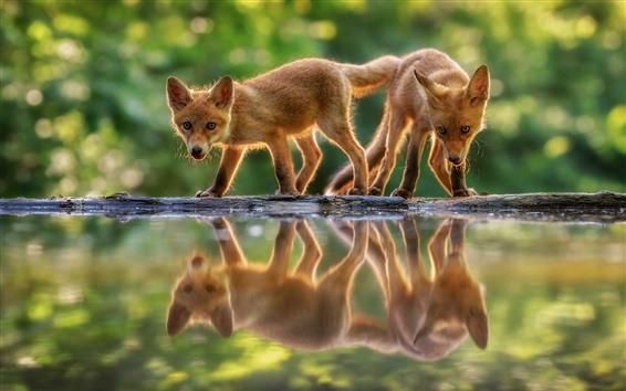 배경 화면 두 개의 귀여운 작은 여우, 물 반사