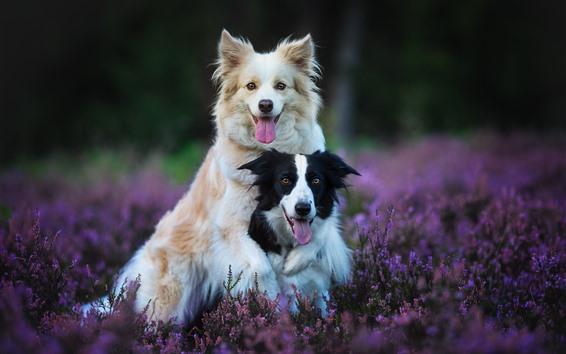Fondos de pantalla Dos perros, lavanda, flores moradas