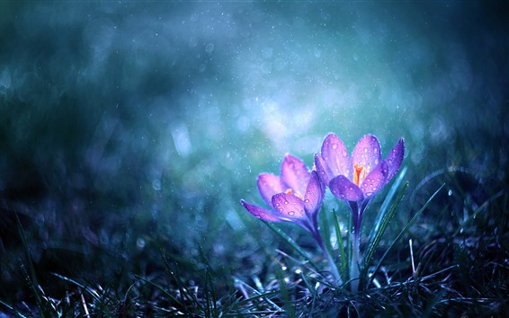 Wallpaper Two pink crocuses, water droplets, rain, hazy