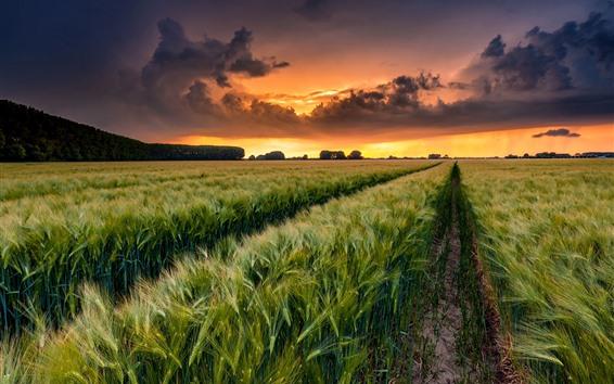 Papéis de Parede Campos de trigo, nuvens, pôr do sol, campo