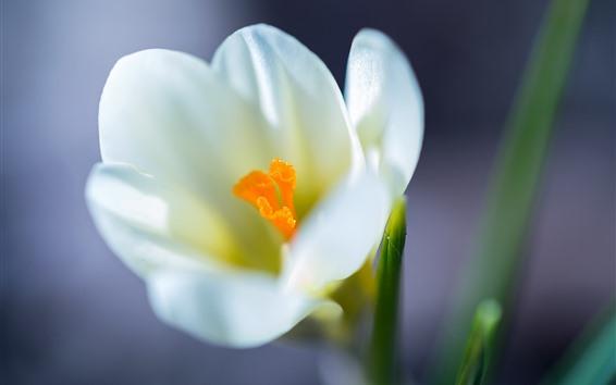 배경 화면 화이트 사프란, 꽃, 꽃잎
