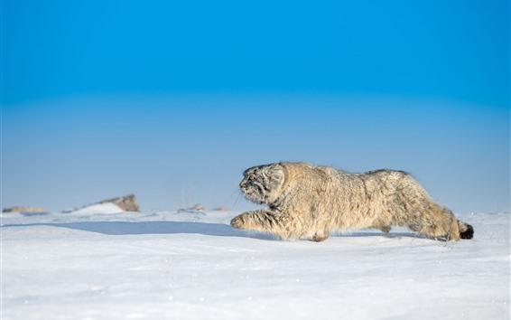 Wallpaper Wildcat, run, snow