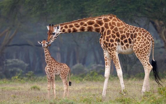 Обои Семья Зебра, детёныш и мама